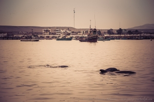 dolphins in the Paracas bay