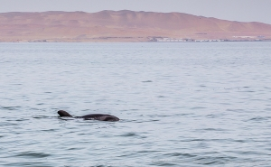pregnant dolphin