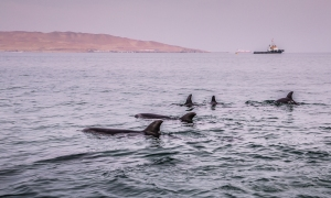 dolphins at Ballestas Islands