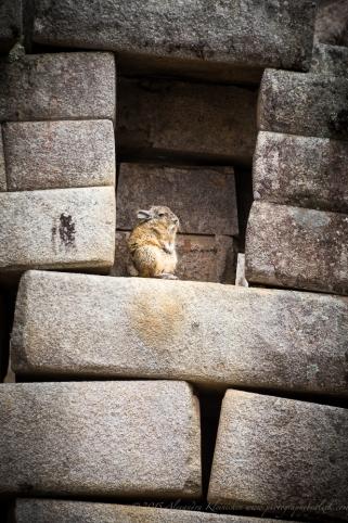 Andean rabbit