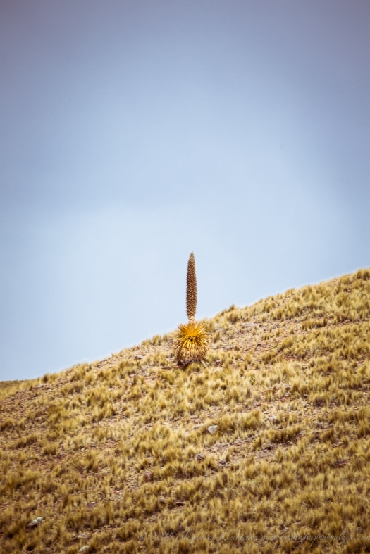 Puya raimondii is the world's largest alpine plant growing 4,000m above sea level