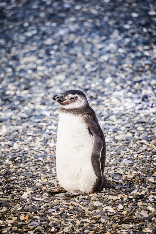 a little penguin from Ushuaia, Argentina.