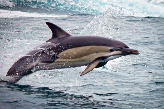 dolphin in Tasmania