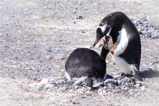 King penguin with attitude