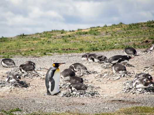 king penguin on the penguin colony, Beagle Channel