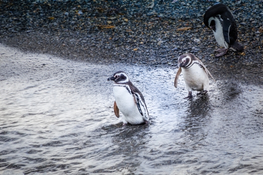 Magellan penguins from the Beagle Channel