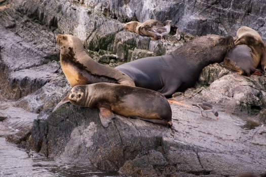 sea lions from the Beagle Channel resting on the rocks