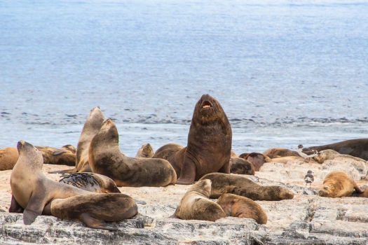 southern american sea lions from the Beagle Channel, Ushuaia.