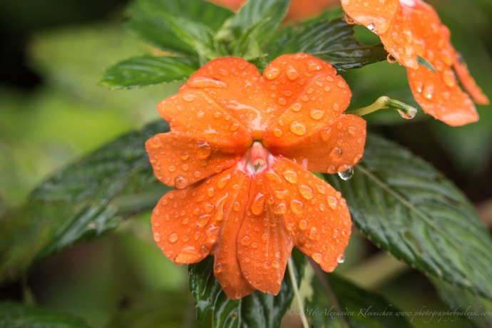 It was raining in the rainforest near Cachi in Costa Rica. The flowers were covered with rain drops which made it so much more interesting to photograph.